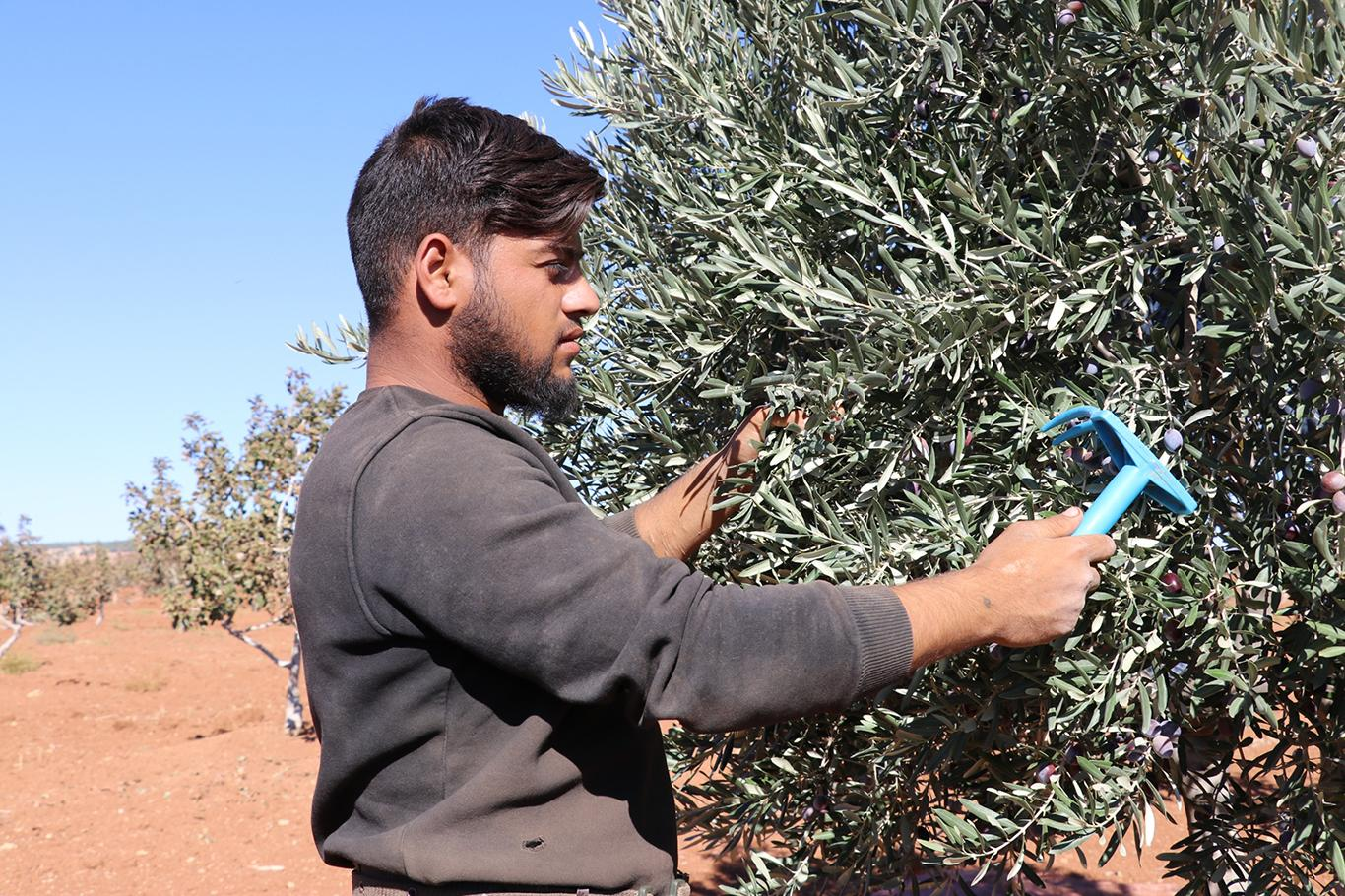 Cueillette d'olives pour le savon d'lLep