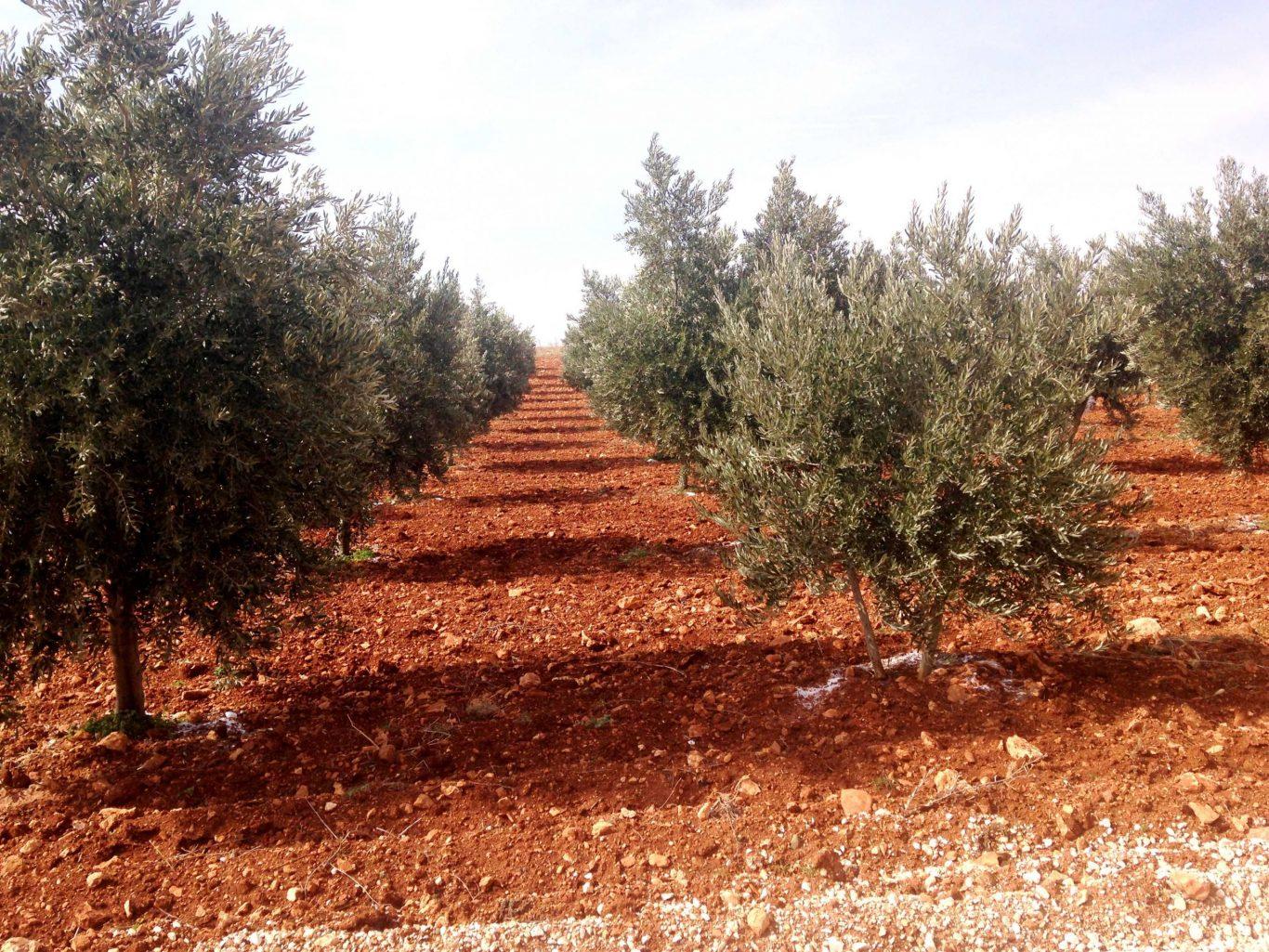 Des oliviers sur une terre aride